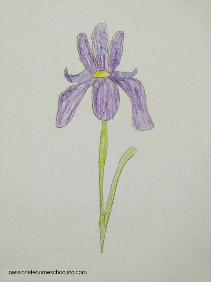 Drawing of a Iris flower