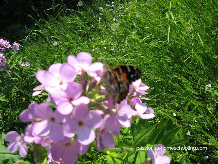Painted Lady Butterfly On Phlox