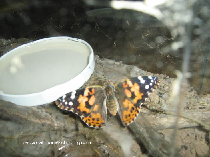 Painted Lady Butterfly With Sugar Water