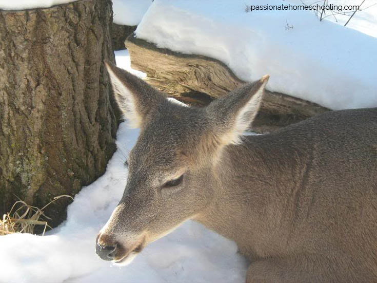 White Tailed Deer Close Up