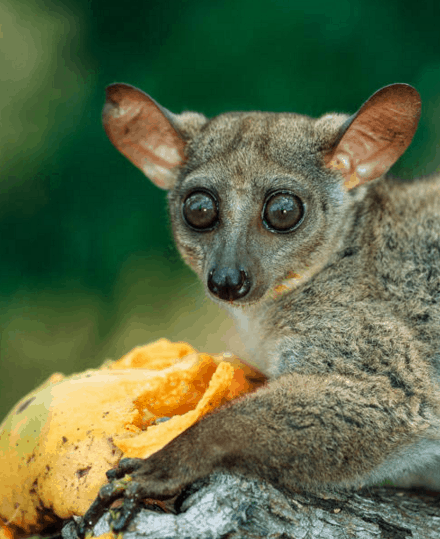 Learn about Bush Baby in the rainforest